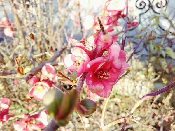 Pink spike Spring Blossoms Chaenomeles Japonica Pink Springtime
