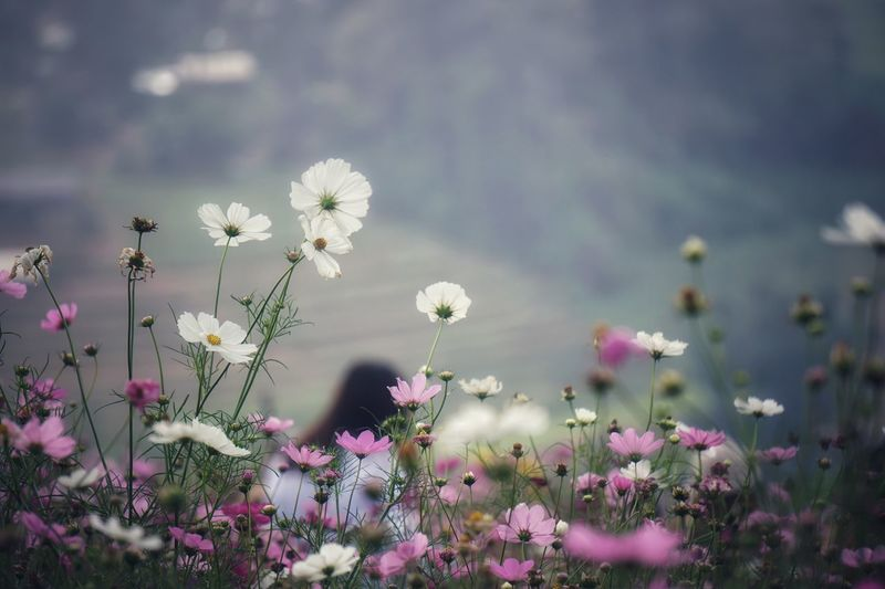 Flowering Plant Flower Plant Freshness Vulnerability  Fragility Beauty In Nature Cosmos Flower Land Field Growth