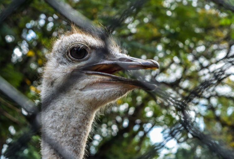 Close-up of emu through chainlink fence