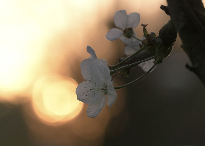 Close-up of cherry blossom during sunset