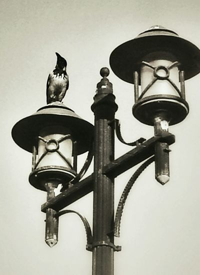 Architecture Streetphotography Nature Urban Blackandwhite Animal Black And White Lamp Landscape Taking Photos Fantastic Exhibition Photo Birds Istanbul Urban Nature Crow Awesome Architecture Nice Atmosphere Karga