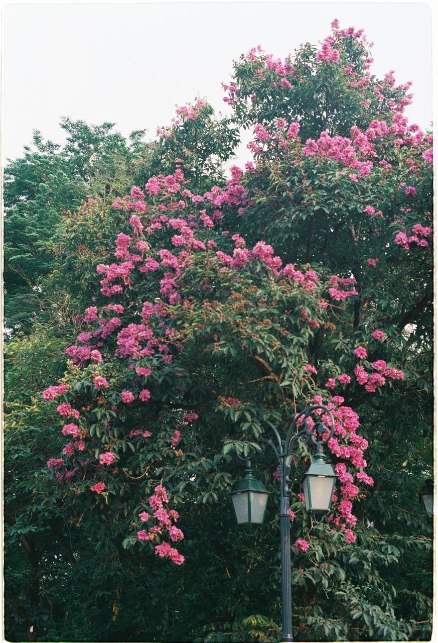 plant, flowering plant, flower, growth, beauty in nature, freshness, pink color, vulnerability, nature, fragility, day, no people, tree, sky, outdoors, red, garden, close-up, botany, front or back yard, spring