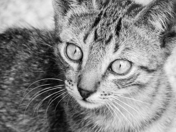 © www.rodiphotography.com Serenity Tranquil Scene Emotions Emotional Photography Feeling Thankful Feelings Daily Life Joy Love Beautiful Cats Cat Eyes Cat Eyes Blackandwhite Details Wild Yellow Eyes Owl Maine Coon Cat Animal Eye Animal Nose Animal Ear Animal Mouth Animal Face Animal Head  Eye Snout HEAD Tabby Cat