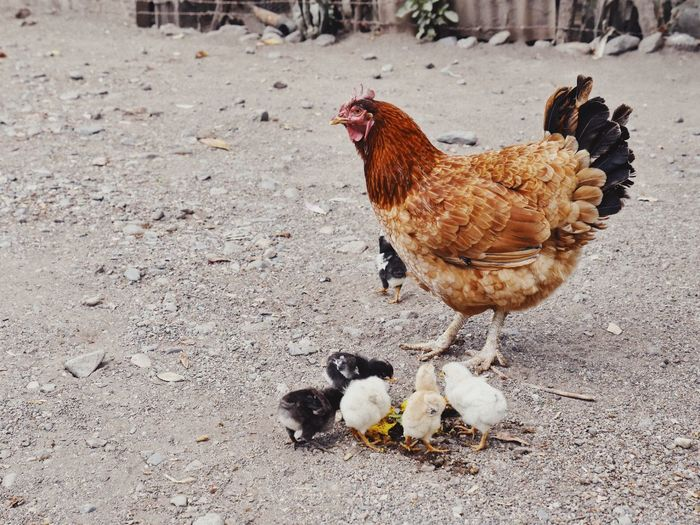 Chicks eating mango No People Color Nature Mother Farm Animals Chıcken