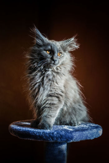 Sur son piédestal... Norvegianforrestcat Studio Shot Black Background Close-up Cat Domestic Cat Feline Kitten Stray Animal Yellow Eyes Pets