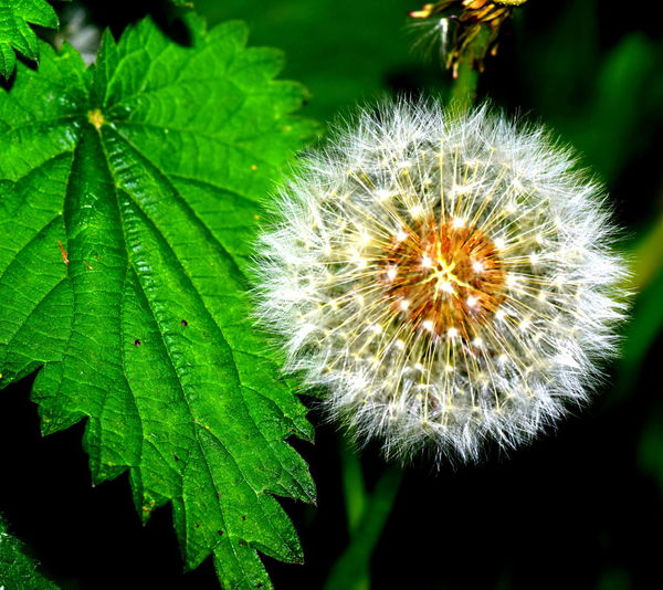 Beauty In Nature Close-up Dandelion Flower Flower Head Focus On Foreground Green Color Nature Outdoors Plant White Color