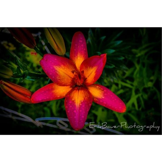Another Photo of the Lilys from my parents Garden . Colorful flower wheelingtography wheelingwv DubV wv plpix @stacelemasters