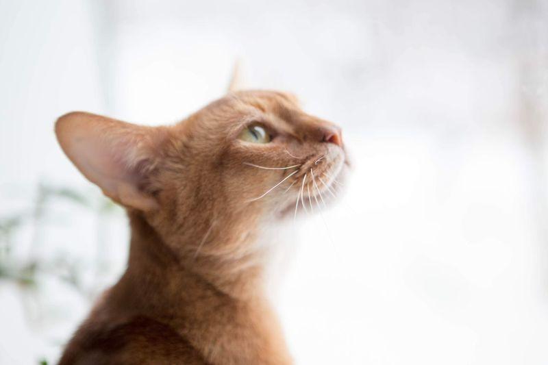Mister Elk Abyssinian  Cat Portrait Pets Domestic Cat Cat Domestic Animals Feline Whisker Indoors  Close-up Looking Up