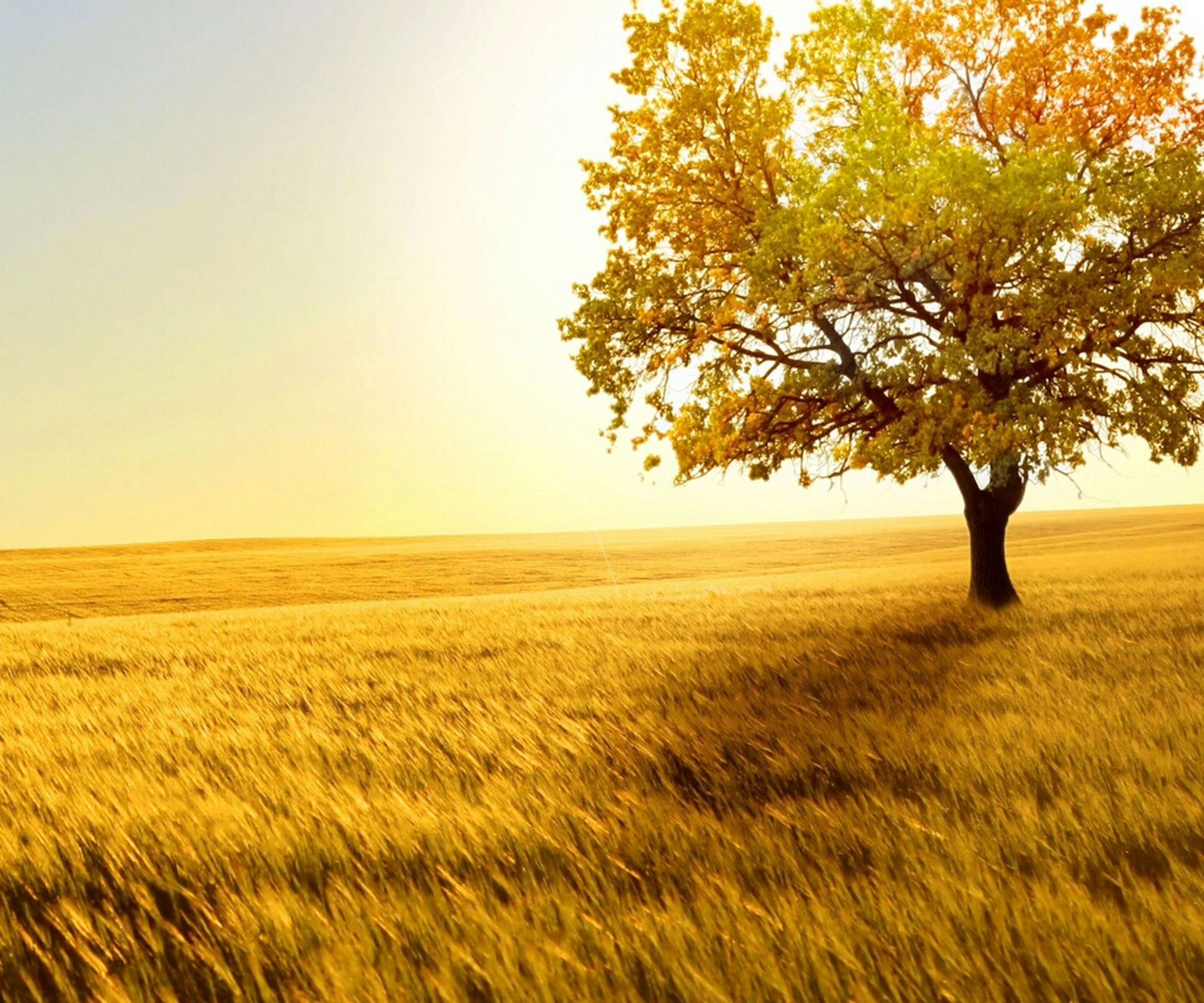 clear sky, field, tranquility, tranquil scene, landscape, beauty in nature, scenics, nature, growth, tree, agriculture, rural scene, copy space, grass, yellow, idyllic, horizon over land, farm, crop, no people