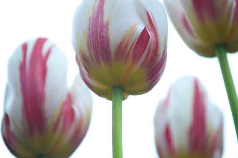 Tulips Tulip Flower Head Flower Red White Background Tulip Pink Color Close-up Plant Plant Life Bud Plant Bulb EyeEmNewHere