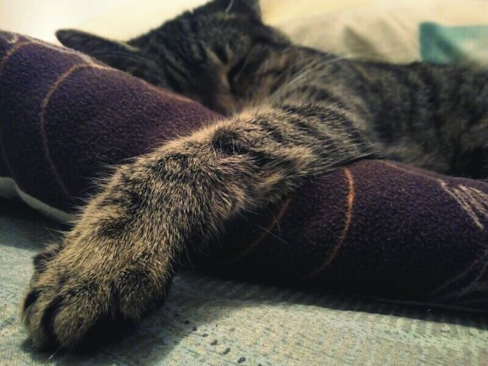 Domestic Cat Lying Down Pets Day Always Be Cozy Mycat♥ Schisy Cat Feline Sleeping Cold Days Pet Portraits