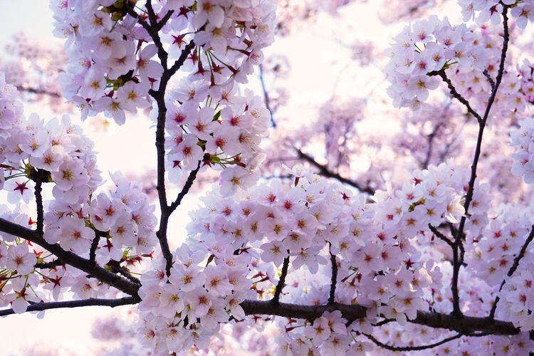2015  Beautiful Nature Bloom Blooming Blooming Flower Cherry Blossom Cherry Blossoms Chidorigafuchi Flower Full Bloom Full Bloomed Cherry Blossoms Japan Nature Pink Sky Spring Sun Tokyo Tree お花見 サクラ 千鳥ヶ淵 春 桜 花