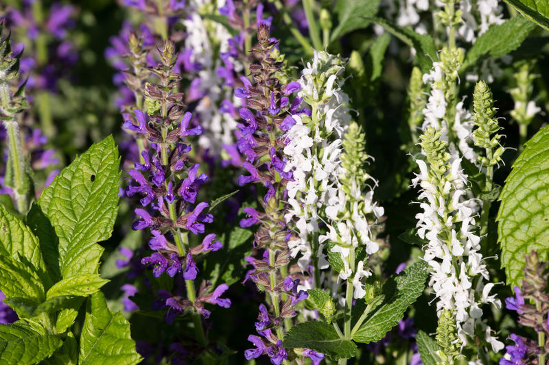 salvia nemorosa blue and white Beauty In Nature Botany Close-up Day Flower Flower Head Flowering Plant Fragility Freshness Garden Green Color Growth Inflorescence Leaf Nature No People Outdoors Petal Plant Plant Part Purple Salvi Nemorosa Salvia Salvia Flowers Vulnerability
