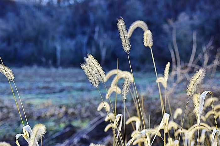 Tall grasses in Autumn Nature No People Plant Outdoors Beauty In Nature Day Close-up Illinois Room For Copy The Way Foward Background Galena, Illinois Backgrounds Bradley Olson Bradleywarren Photography Copy Space Room For Text Sky Blue Grasses Grasses In The Wind Grasses Against Sunset Blue Background Wild Flowers Countryside