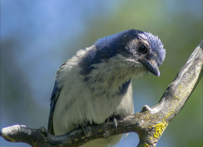 Blue Jay Scrub Jay Animal Animal Themes Animal Wildlife Animals In The Wild Baby Blue Jay. Bird Branch Close-up Day Focus On Foreground Full Length Looking Nature No People One Animal Outdoors Perching Plant Profile View Tree Vertebrate Zoology