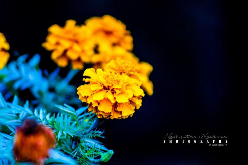 Flower Plant Yellow Close-up Nature Freshness Beauty In Nature Flower Head Petal Growth Marigold Flower Arrangement