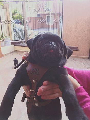 Pug Pug Life  TryingToBeCute Isco Fat