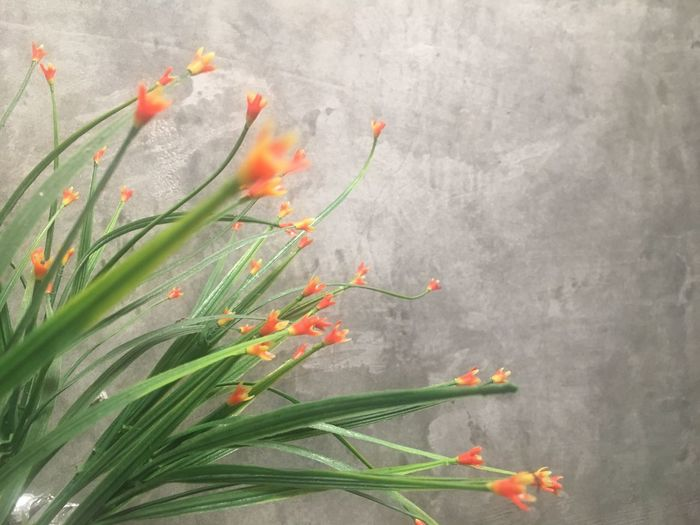 background Background Background Texture Growth Plant Flower No People Nature Flowering Plant Orange Color Freshness Leaf Green Color Gray Beauty In Nature Wall - Building Feature