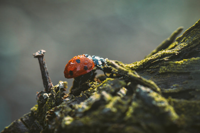 Close-up of wet ladybug on moss covered tree