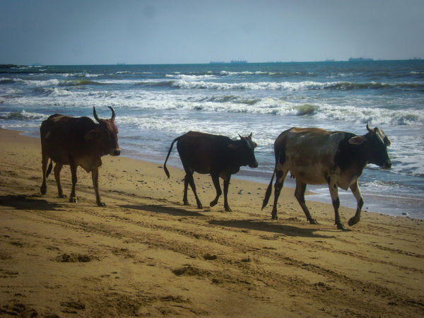 Cows Cows On A Beach Family Holiday Family Stroll Goa Happy Cows India Mother India Ocean Waves