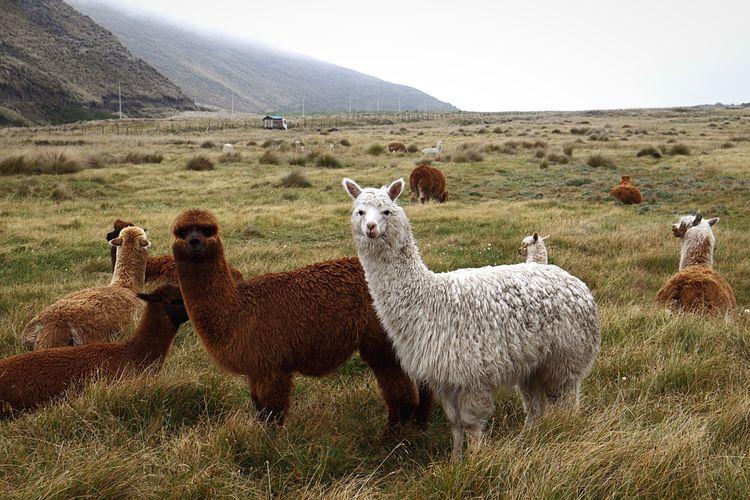¿Qué pasa? Alpaca Ecuador Open Edit Ecuador-pgw The Traveler - 2015 EyeEm Awards