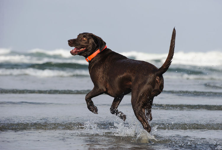 View of chocolate retriever at beach