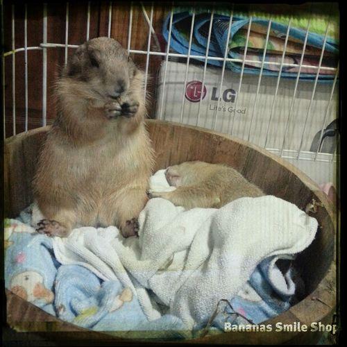 แพรรี่ด็อก Prairiedog Prairie Dogs Thailand