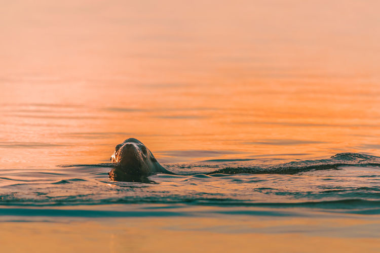 Aquatic mammal swimming in sea during sunset
