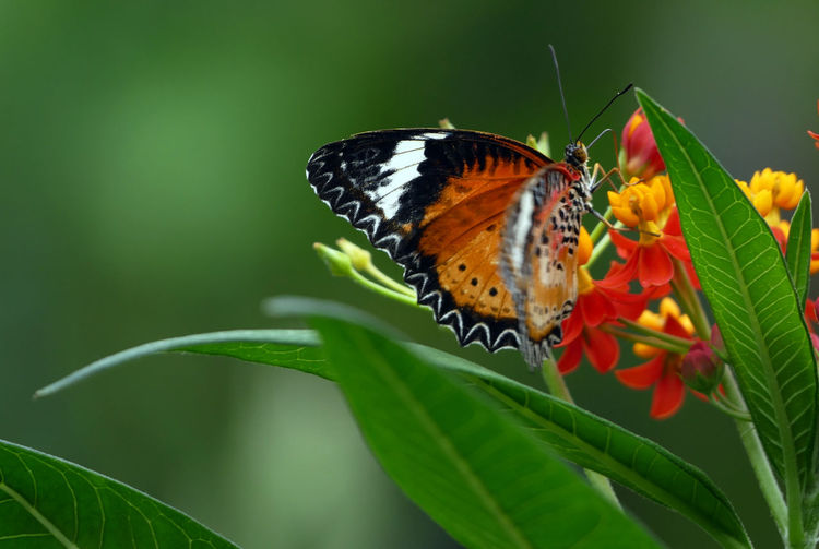 Animal Antenna Animal Markings Animal Themes Animal Wing Animals In The Wild Beauty In Nature Butterfly Butterfly - Insect Close-up Flower Focus On Foreground Fragility Insect Leaf Natural Pattern Nature One Animal Perching Plant Showcase March Wildlife Nature's Diversities