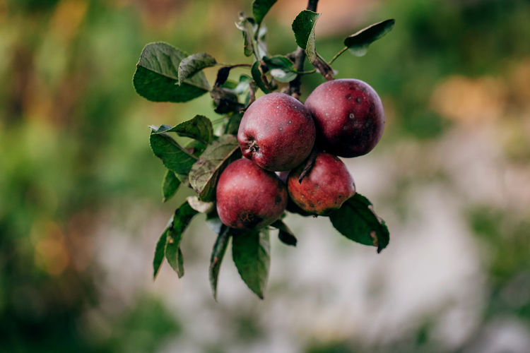 Apples on the branch Food And Drink Food Fruit Healthy Eating Freshness Growth Plant Nature Tree Vegetable Vegetarian Food Apple Leaf Close-up Countryside