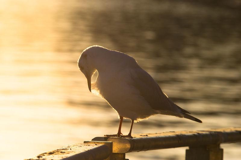 Bird Nature No People One Animal Seagull Side View Silhouette Sun Light Wildlife
