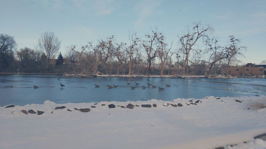Geese Pond Winter_collection Frozen Pond Nature Photography Nature_collection Denver In November Nesting Place