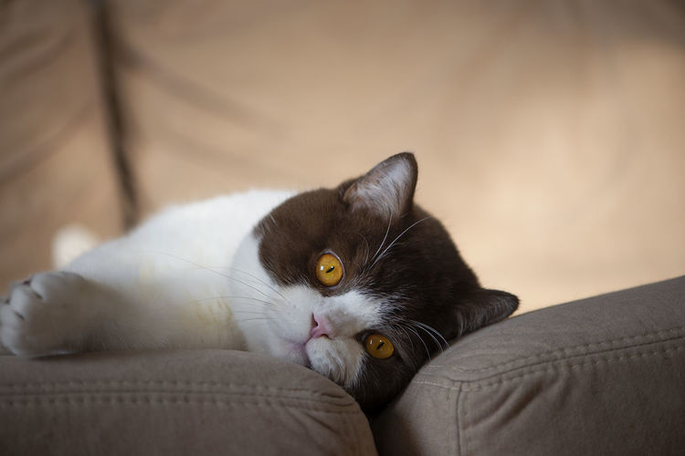 British shorthair tomcat lying on the couch and looking at camera,yellow eyes