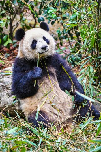 Giant panda eating bamboo in China Animal Animal Themes Animal Wildlife Mammal Animals In The Wild One Animal Plant Panda - Animal Vertebrate Nature Giant Panda No People Endangered Species Eating Day Bear Grass Land Sitting Bamboo - Plant Herbivorous Panda Giant Bear Chengdu Conservation