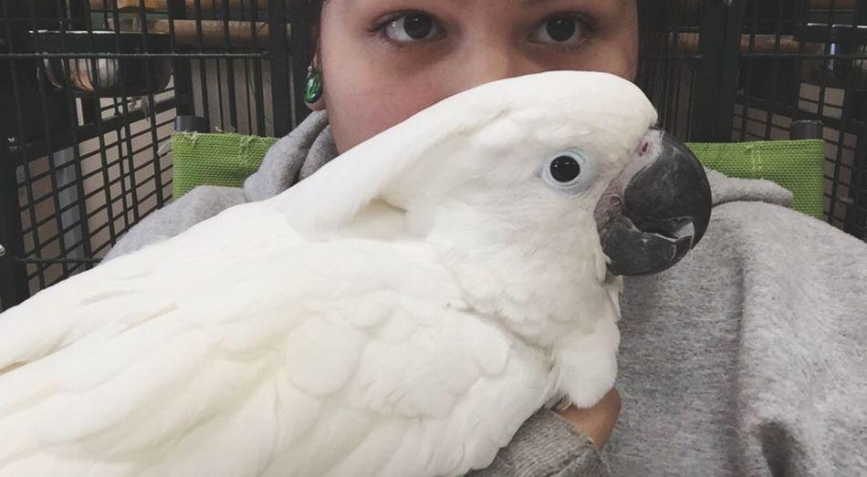 UmbrellaCockatoo Birds Pet Pets Cute White Love Adorable Cuddles Cuddling
