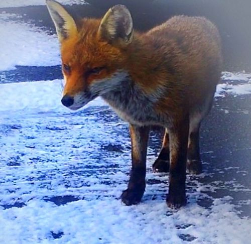 Snow Fox Winter Cold Temperature One Animal Nature Animal Themes Animal Wildlife Weather Red Animals In The Wild Close-up Day Outdoors No People