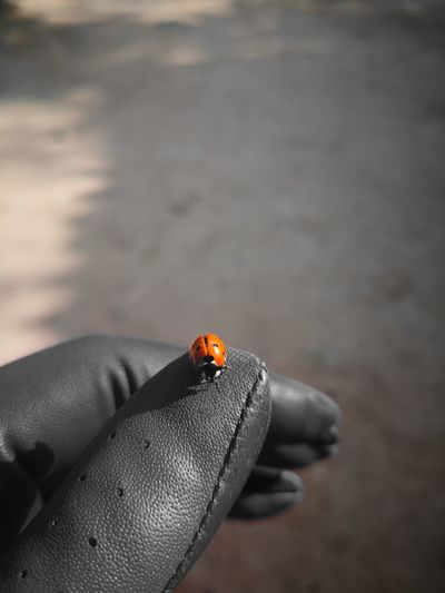 lady bug Golf Glove Golf Course Ladybird Orange Color Huaweiphotography Huawei Mate 10 Pro Human Hand Ladybug Insect Red Close-up Bug Animal Antenna Tiny Arthropod Spotted Animal Markings Invertebrate