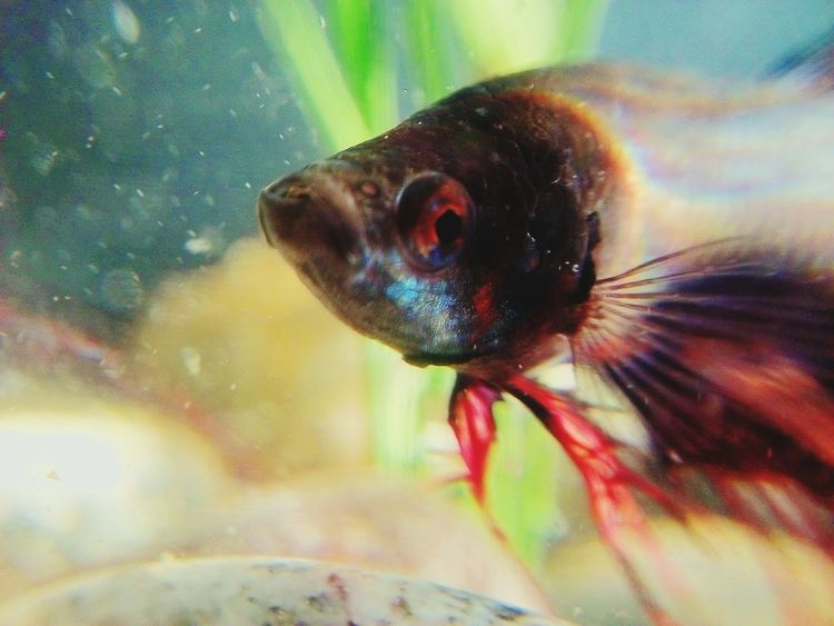 fighter fish Micro Lens One Animal Animal Themes Animals In The Wild Close-up Insect No People Animal Wildlife Water UnderSea Multi Colored Nature first eyeem photo EyeEmNewHere