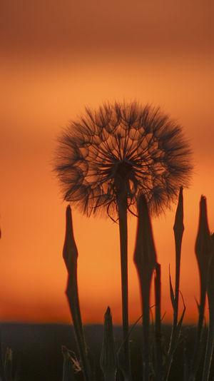 Silhouette of dandelion against orange sky