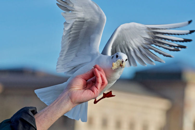 Cropped image of seagull  fed by  human hand