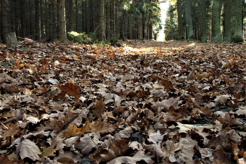Abundance Autumn Brown Change Day Dry Fall Falling Forest Leaf Leaves Messy No People Outdoors Tranquility WoodLand