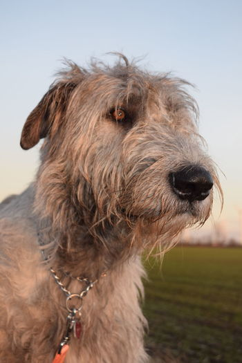 Domestic Animals One Animal Animal Body Part Sky Close-up Animal Head  Dogwalk Dogs Of Winter Dog Of The Day Dogs Of EyeEm Irish Wolfhound Dogslife Bokeh Cearnaigh Beauty In Nature How Is The Weather Today? February 2017 Winter 2017 Bokeh