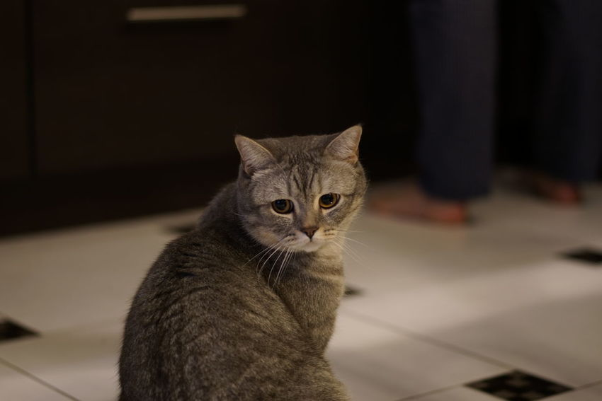 Animal Themes British Shorthair Close-up Day Domestic Animals Domestic Cat Feline Focus On Foreground Indoors  Kids Looking At Camera Mammal No People One Animal Pets Portrait Tabby Cat