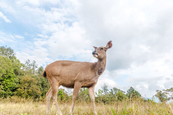 Deer came for grass in meadow. Animal Brown; Cautious; Curious; Day Deer; Eat; Environment; Feed; Forest; Grass; Habitat; Khao Yai; Mammal Meadow; Nature Outdoors Photographer; Savannah; Tourist; Tree; Wildlife;