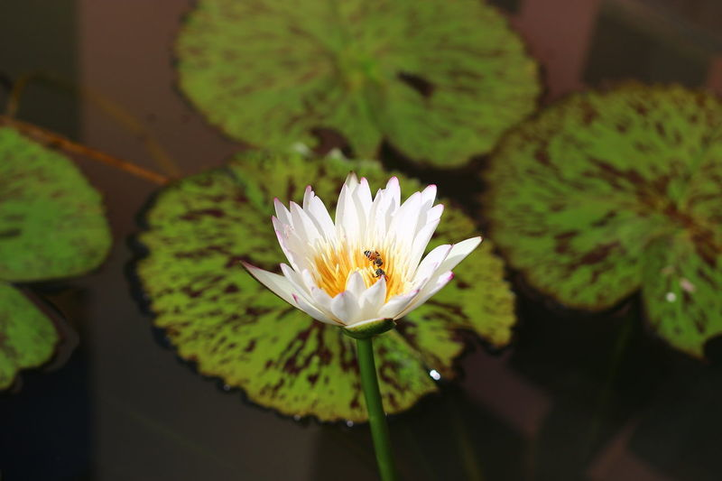 Beauty In Nature Blooming Blossom Close-up Floating On Water Flower Flower Head Focus On Foreground Freshness Green Color In Bloom Leaf Lotus Lotus Flower Nature No People Outdoors Petal Plant Pollen Selective Focus Water Lily White Color ดอกบัว