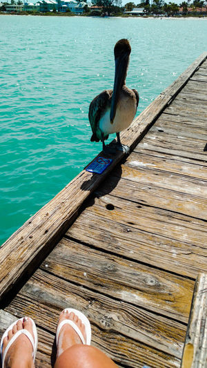 Anna Maria Island Pelicans Bird Collection Bird Photography Pelican On Pier Pier Bay Area Bayview Watching Wildlife Salt Life Turquoise Water Enjoying Life Wildlife Photography