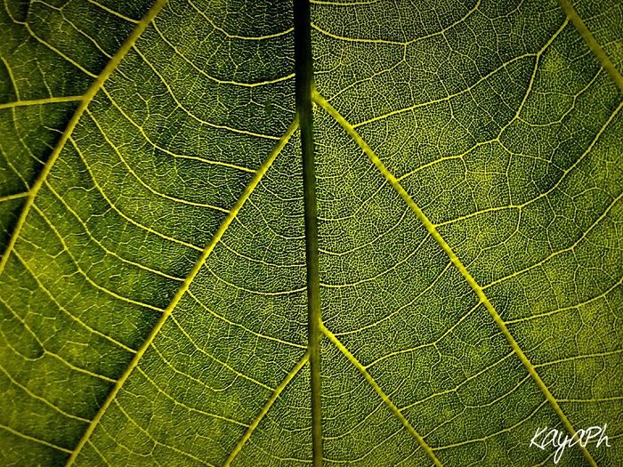 Leaf Nature Close-up Green Color Day No People Freshness Outdoors Backgrounds Fragility Full Frame Growth Kayaph Chiara