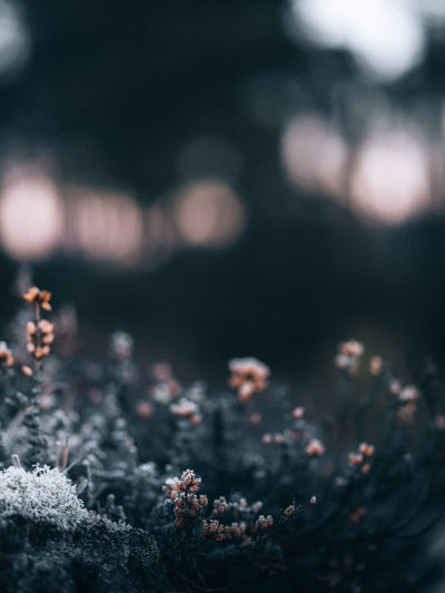 Close-up of flowering plant on snow covered field