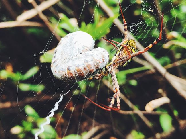 Sydney Spider Web Spider One Animal Web Focus On Foreground Animal Themes Animals In The Wild Nature Close-up Survival Weaving Animal Wildlife No People Outdoors Day Fragility Beauty In Nature Trapped Insect Animal Leg