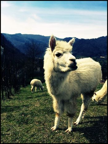 Alpaca Photooftheday Pictures Countrylife EyeEm Gallery Photo Enricofallico Beautiful Nature Eyemphotography Animal Photography Animals In The Wild Animal_collection Animal Love Alpacas
